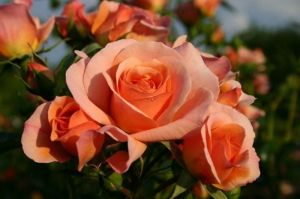 Роза Aprikola (Априкола)