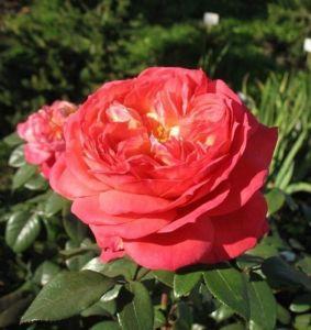 Роза Queen of Heatrs (Куин оф Хертс)