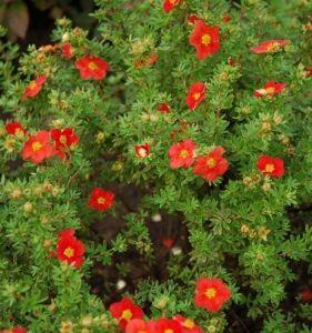 Лапчатка кустарниковая Red Ace (Ред Айс)
