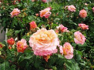Роза Augusta Luise (Августа Луиза) штамбовая
