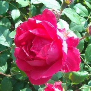 Роза Blaze Superior (Блейз Супериор)
