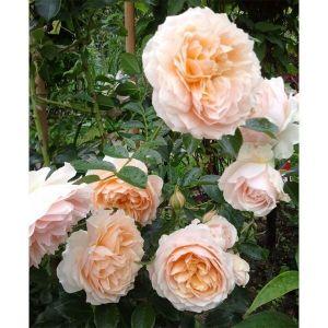 Роза Ginger Silabub (Джинджер Силабаб)