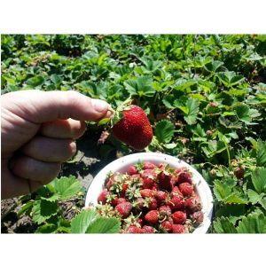 Удобрение для клубники и земляники Агроном Профи