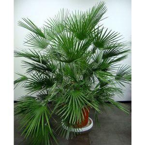Удобрение Biopon для юкки, драцены, пальмы