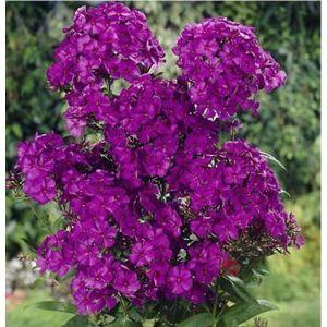 Флокс фиолетовый