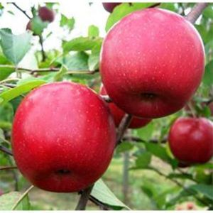 Яблоня Фуджи 2-х летняя