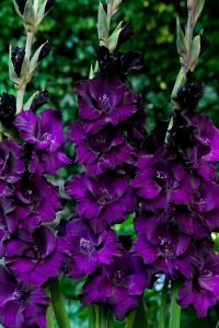 Гладиолус Пёрпл Флора (Purple Flora)