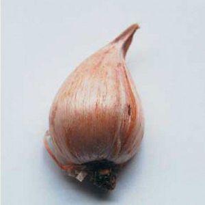Ирис Raticulata Pauline (Ратикулята Паулин)