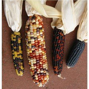 Кукуруза декоративная смесь