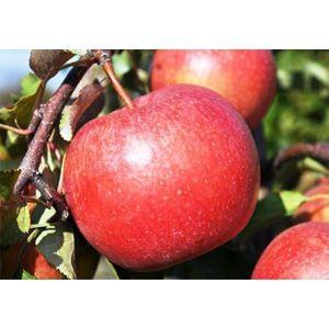 Яблоня Лигол, урожайная