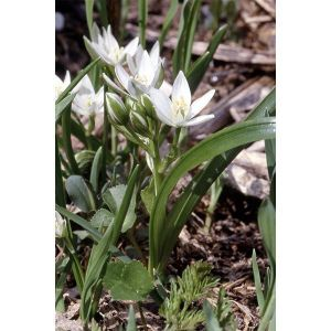 Орнитогалум Balansae (Птицемлечник Баланса)