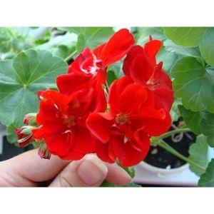 Пеларгония Бордюр красная