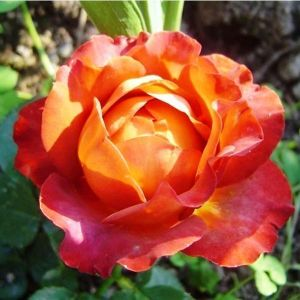 Роза Coffeе Break (Кофи Брейк)