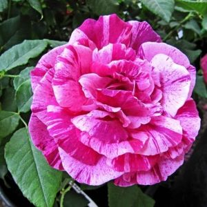 Роза Ferdinand Pichard (Фердинанд Пишард)