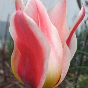 Тюльпан Mary Ann (Мери Энн)