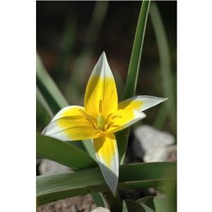 Тюльпан Turkestanica (Туркестанский)