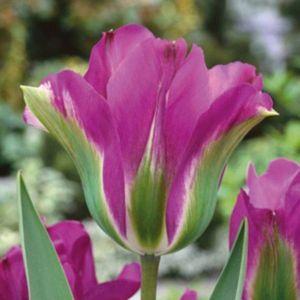 Тюльпан Violet Bird (Вайолет Берд)