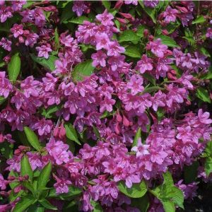 Вергела цветущая Стириака (Styriaca)