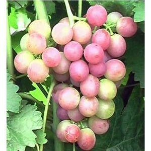 Виноград Кардишах