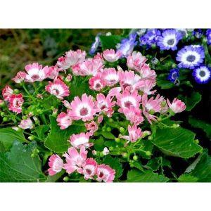 Цинерария цветущая Амиго смесь