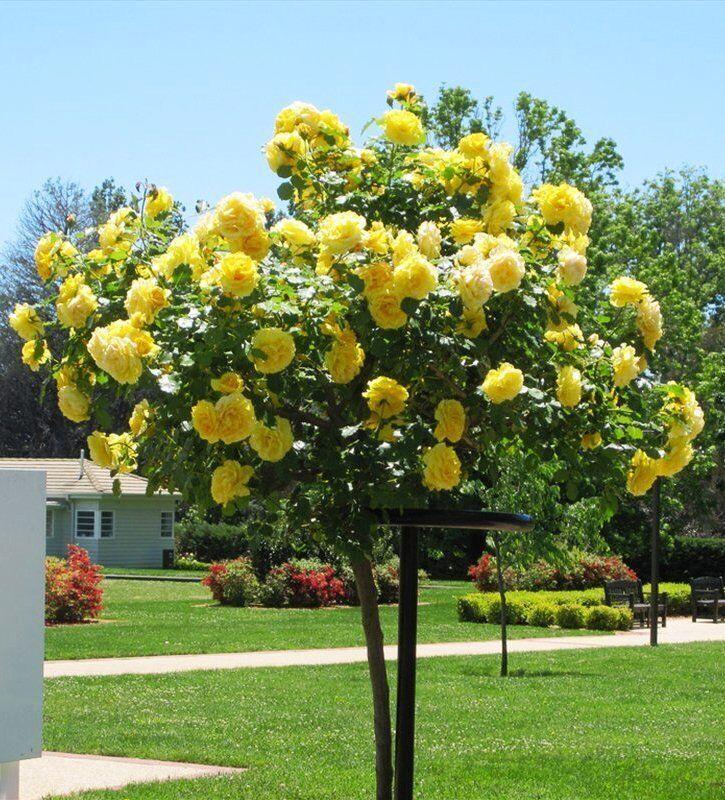 Штамбовые розы в саду