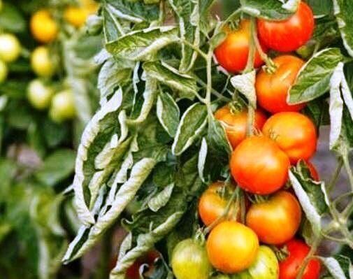 От чего скручиваются листья на помидорах что делать