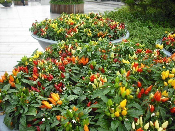 посадить декоративный перец из семян
