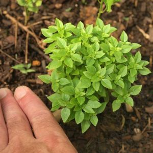 Базилик зеленый гвоздичный