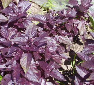 Базилик фиолетовый Темный Опал