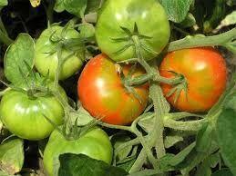 Плантафол (Plantafol) 5-15-45 дозревание плодов 25 г
