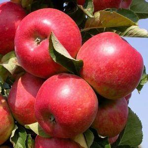 Яблоня в контейнере Вистабелла, 150-210 см