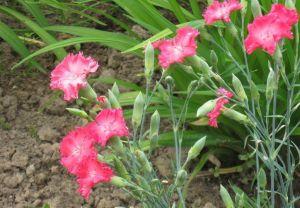 Гвоздика садовая Гренадин смесь