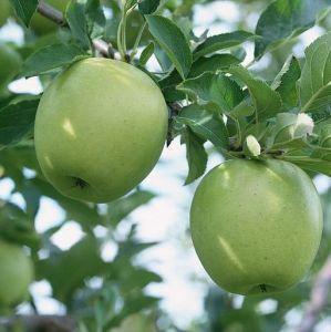 Яблоня в контейнере Грин Стар, 150-210 см