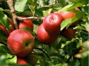 Яблоня в контейнере Эрли Женева, 150-210 см