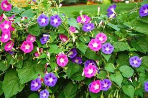 Ипомея пурпурная