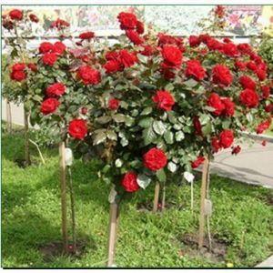 Роза Декоплант Dame de Coeur (Дам де Кер) штамбовая, 90-100 см