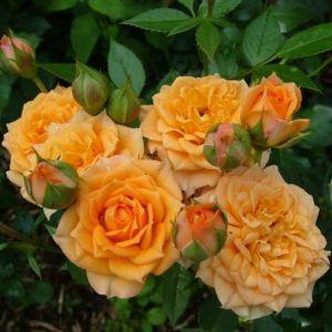 Роза Декоплант Clementine (Клементин) штамбовая 90+см