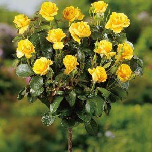 Роза Landora (Ландора), штамбовая