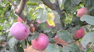Яблоня Либерти, осенняя