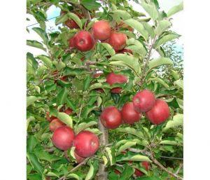 Яблоня в контейнере Моди, 150-210 см