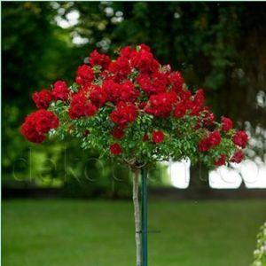 Роза Декоплант Nina Weibull (Нина Вейбл) штамбовая,60-70 см