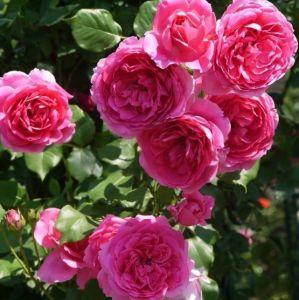 Роза Parade (Парад)
