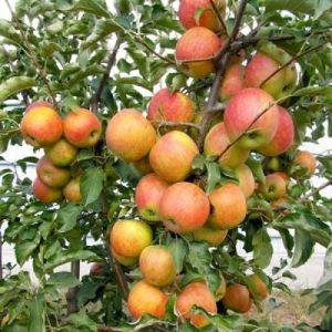 Яблоня в контейнере Пинова, 150-210 см