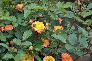 Роза Rumba (Румба) плетистая