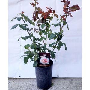 Роза в контейнере Souvenir de Baden-Baden (Сувенир де Баден-Баден), 80-90 см