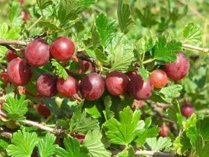 Удобрение Mivena Field-Cote CRF для ягодных культур 500 г