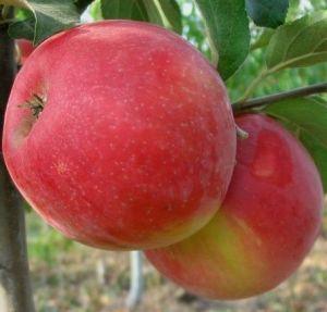 Яблоня в контейнере Хоней Крисп, 150-210 см