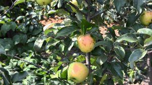 Яблоня Целесте, летняя