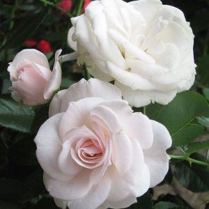 Роза Aspirin (Аспирин)