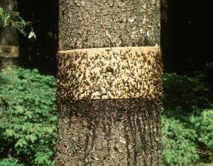Липкий пояс для защиты деревьев